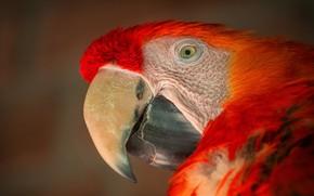 Картинка взгляд, крупный план, красный, фон, портрет, попугай, ара
