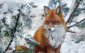 Картинка зима, снег, ветки, природа, животное, лиса, хвоя, лисица