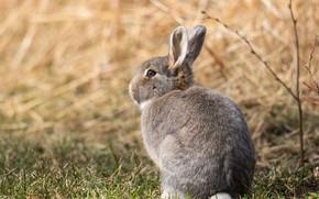 Картинка поле, взгляд, поза, серый, фон, заяц, малыш, мордочка, сидит, зайчик, детеныш, дикая природа, зайчонок