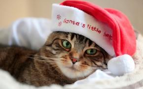 Картинка кот, Санта, колпак