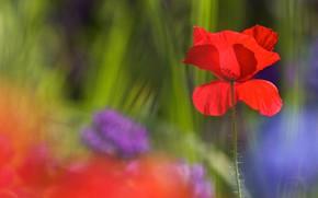 Картинка цветок, свет, синий, красный, зеленый, фон, мак, размытие, сад, боке
