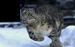 Картинка зима, снег, животное, хищник, бег, ирбис, снежный барс, Олег Богданов