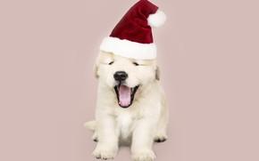 Картинка собака, Новый Год, Рождество, щенок, санта, лабрадор, Christmas, puppy, dog, New Year, cute, Merry, santa …