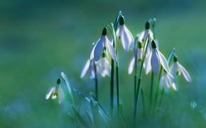 Картинка свет, цветы, поляна, весна, подснежники, белые, зеленый фон, боке