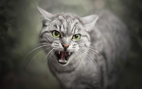 Картинка кошка, пасть, зверь