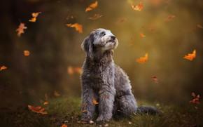 Картинка трава, взгляд, листья, природа, поза, поляна, собака, серая, сидит, листопад