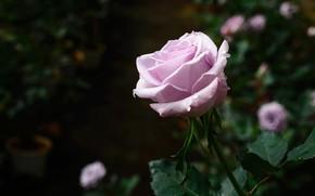 Картинка капли, роза, лиловая