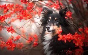 Картинка ветки, собака, мордашка, цветение, цветки, Шелти, Шетландская овчарка