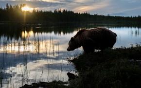 Картинка лес, закат, берег, вечер, медведь, силуэт, мишка, сумерки, водоем, бурый