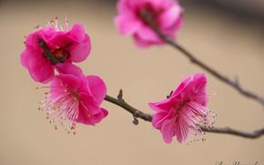 Картинка весна, абрикос, цветение, Ben Yamada
