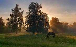 Картинка поле, лес, лето, небо, трава, солнце, лучи, деревья, пейзаж, природа, парк, конь, рассвет, лошадь, утро, …
