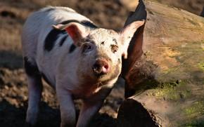 Картинка взгляд, морда, свет, пень, свинья, бревно, свинка, поросенок, хрюша, пятнистая, чумазая