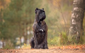 Картинка собака, Кане-корсо, Ирина Ковалёва