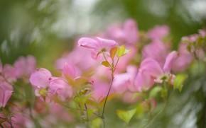 Картинка листья, цветы, ветки, куст, размытие, весна, розовые, цветение, боке, кизил