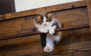 Картинка кошка, белый, котенок, фон, доски, малыш, котёнок, висит, палка, пятнистый, вешалка, с пятнами