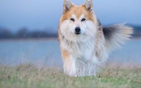 Картинка взгляд, собака, Исландская овчарка, Исландская собака