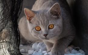 Картинка кошка, кот, взгляд, морда, поза, темный фон, камни, котенок, серый, фон, сеть, портрет, лапы, котёнок, …