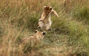 Картинка поле, трава, поза, прыжок, игра, пара, саванна, малыши, дикие кошки, львята, львенок, два, львёнок