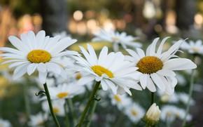 Картинка цветы, парк, ромашки, сад, белые, клумба, много, боке