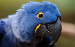Картинка взгляд, синий, фон, птица, портрет, попугай, ара