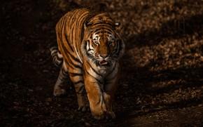 Картинка взгляд, морда, свет, природа, тигр, темный фон, прогулка, дикая кошка, красавец