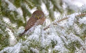 Картинка снег, ветки, сова, птица, Воробьиный сыч, Калифорнийский воробьиный сыч-гном