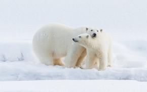 Картинка зима, белый, взгляд, снег, природа, поза, малыш, медведь, медведи, пара, сугробы, медвежонок, ласка, белые, белый …