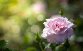Картинка цветок, макро, фон, роза