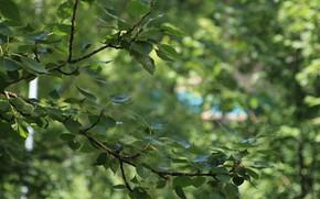 Картинка листья, деревья, зеленый, дерево (деревья), тополь, зелень листьев