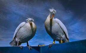 Картинка небо, птицы, синева, пара, два, пеликаны, пеликан, две птицы