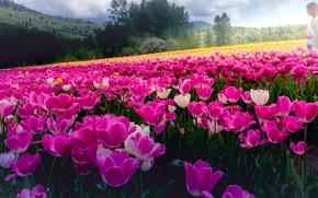 Картинка поле, девушка, цветы, природа, настроение, поляна, весна, желтые, тюльпаны, розовые, бутоны, много, плантация, тюльпановое