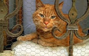 Картинка кошка, кот, взгляд, морда, сетка, забор, портрет, рыжий