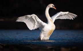 Картинка белый, темный фон, птица, лебедь, водоем, взмах крыльев