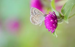 Картинка фон, бабочка, клевер, цветочки