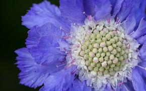 Картинка цветок, макро, синий цветок, Скабиоза