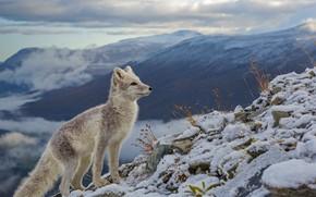 Картинка снег, Норвегия, песец