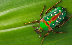 Картинка макро, зеленый, фон, листок, жук, насекомое, в крапинку