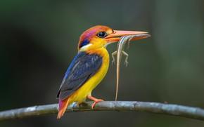 Картинка bird, lizard, Black-backed Kingfisher