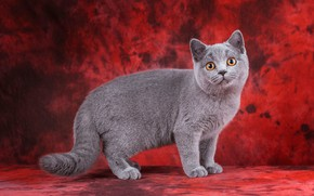 Картинка кошка, кот, взгляд, поза, котенок, серый, котик, мордочка, милый, стоит, котёнок, красный фон, выражение, британский, …