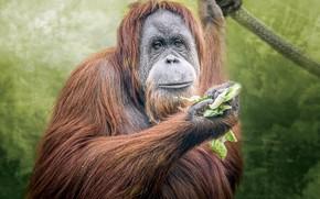 Картинка портрет, рыжая, орангутанг