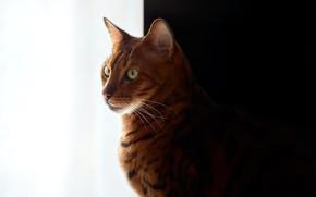 Картинка черно-белый фон, bengal cat, рыжая кошка, бенгальская кошка, David Köhler