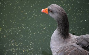 Картинка вода, пруд, птица, клюв, водоем, гусь, серый гусь