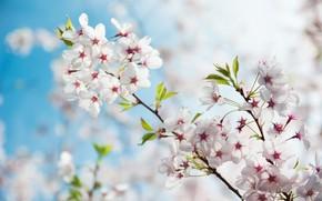 Картинка весна, сад, сакура, цветение