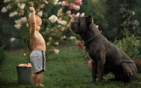 Картинка яблоки, собака, мальчик, ведро, кане-корсо, Александра Аксенова