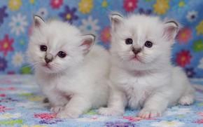 Картинка взгляд, поза, котенок, фон, пара, маленькие, котята, белые, котёнок, малыши, цветочки, парочка, дуэт, два, мордочки, …