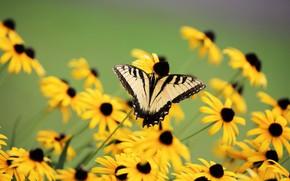 Картинка макро, цветы, бабочка, желтые, рудбекия