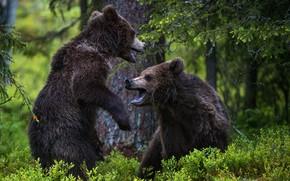 Картинка лес, медведи, два медведя
