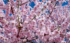 Картинка цветы, весна, сакура, цветение