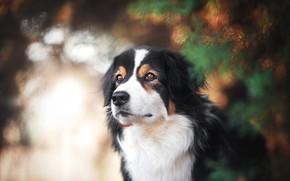 Картинка взгляд, морда, фон, портрет, собака, хвоя, боке, карие глаза