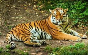 Картинка зелень, трава, взгляд, тигр, отдых, склон, лежит, тропинка